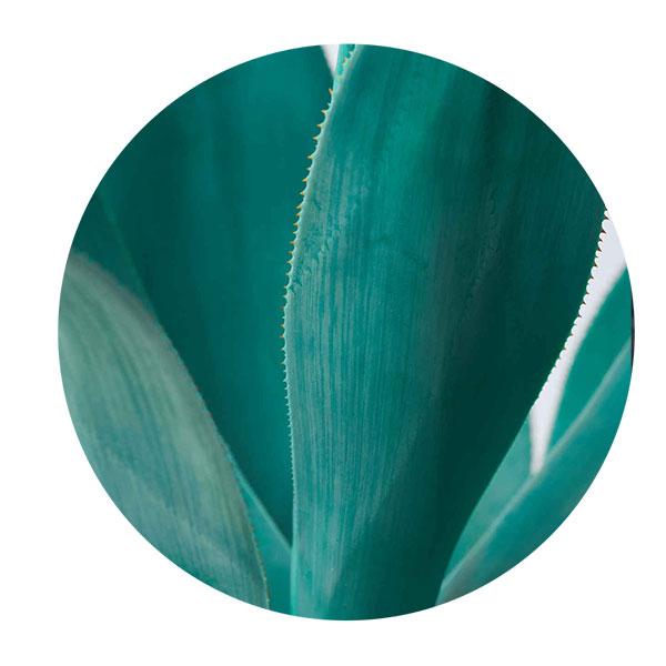 agave azul